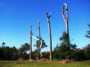 Abbattimento serie di Pinus Pinea
